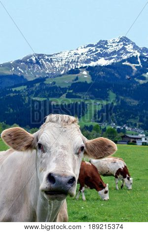 Cow on field looking at camera. Beautiful Austrian Alps on background. Vertical image.