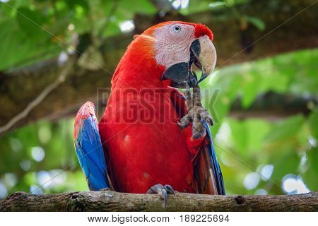 Closeup view of the Scarlet Macaw over tree cleaning nails with beak