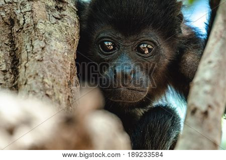 Mantled howler (Alouatta palliata). Baby of golden mantled howler monkey on the tree.