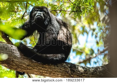 Mantled howler (Alouatta palliata). Golden mantled howler monkey on the tree.