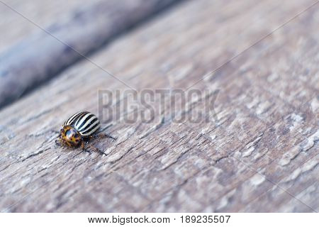 Colorado potato beetle on a potato leaf