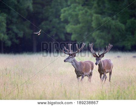 Two Red Deers Walking On Meadow