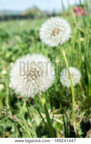 Dandelion Fluff. Dandelion Tranquil Abstract Closeup Art Background