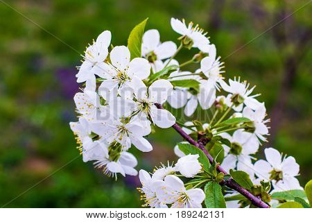 Beautiful Flowering Cherry Trees In The Spring Time