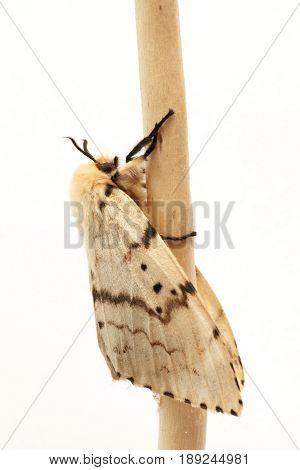 Moth Brudnice (Lymantria dispar) female, on a white background
