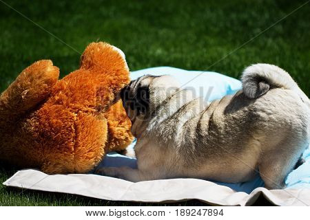 A pug dog outdoors in a garden. Pug playing with toy. cute fat good pug dog