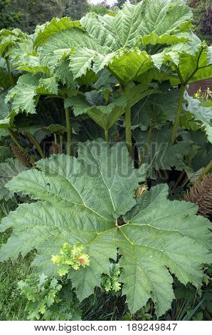 Gunnera Manicata or Chilean Rhubarb is a large leaf plant usually found in waterside areas of lakes and ponds