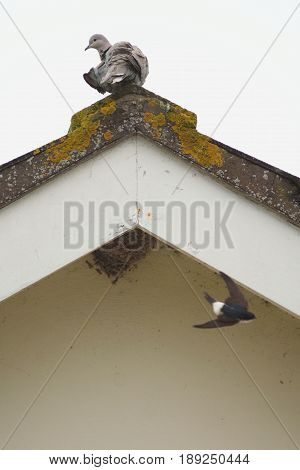 Pigeon on the top of the roof watching house martin in flight