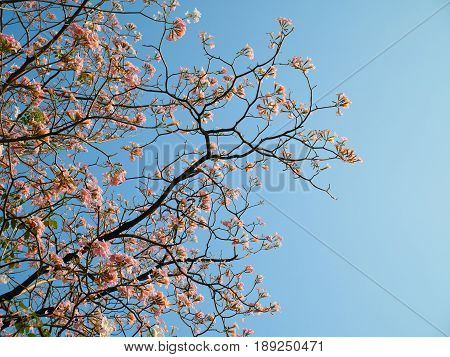 Tabebuia rosea blooming on clear blue sky