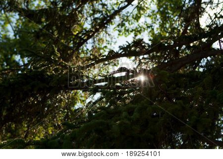 Sun Flare Through The Branches Of A Fir Tree