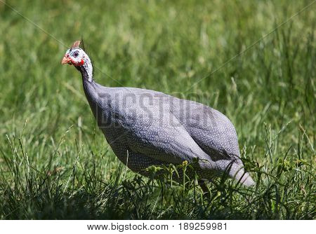 A grey feathered guinea fowl in meadow