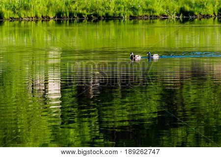 two ducks slowly swimming across the pond at dawn
