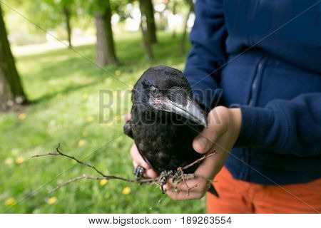 A Nestling Of Crows In The Hands Of A Man. Protection Of Nature