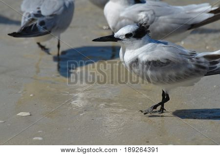 Sandwich tern bird standing on the water's edge on a beach.