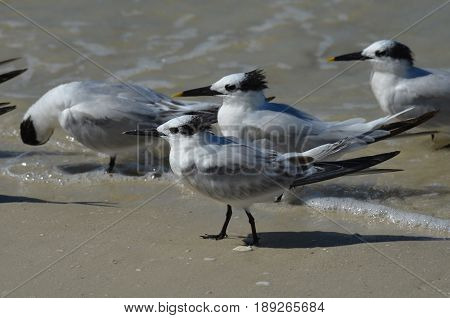 Shorebirds wading in shallow water in Naples Florida.