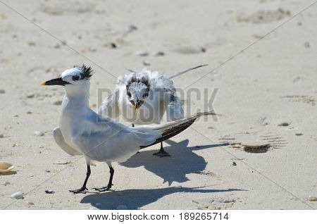 Pair of birds on a sandy beach fighting in the sand.