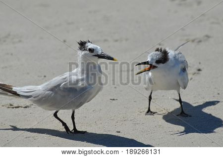 Pair of terns on the beach arguing over a morsel of food.