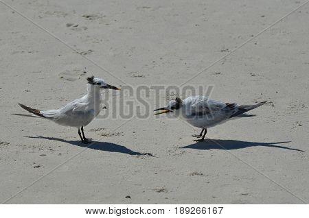 Sandwich terns fighting on the sandy beach in Florida.