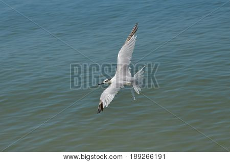 Flying sandwich tern with his wings extended in flight in Florida.