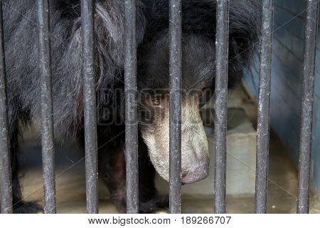 Black bear in cage behind steel bars close up