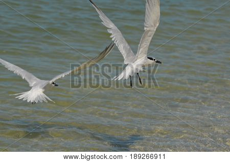 Sandwich tern birds with his wings spread over the ocean.