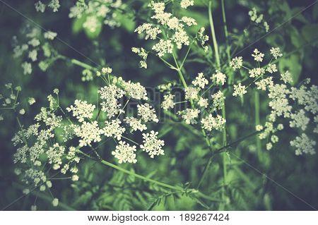 Beautiful elder plants in Sweden during summer.