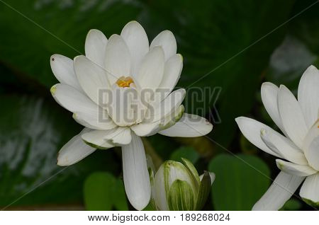 White flowering lotus in a water garden with lush flowers.