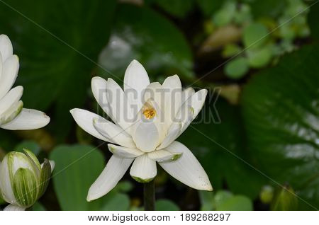 Water garden with a blooming white lotus flower.