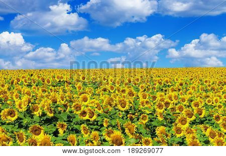 Sunflower field with blue sky. Day time