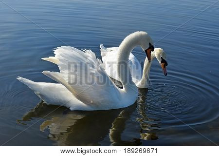 two white swans in the Round pond, Hyde Park, London, UK