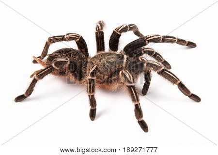 Costarican Zebra Tarantula also known as the Striped-knee Tarantula (Aphonopelma seemanni) this spider inhabits most of western Costa Rica