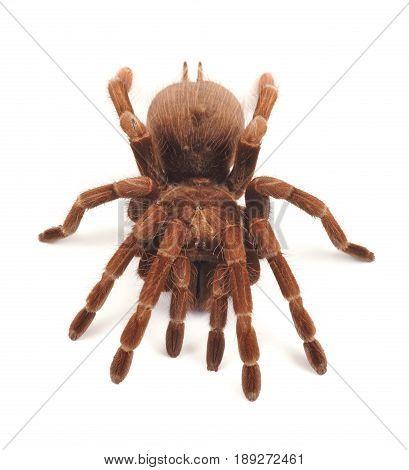 Tarantula spider female (Theraphosa blondi) on a white background