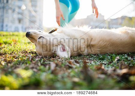 Dog with stick in teeth lies on back at green lawn