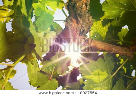 Grapes under the sun