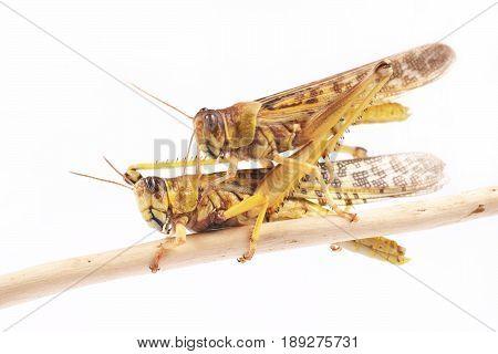 Locust Desert locust (Schistocerca gregaria) during the mating season