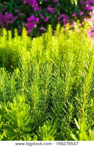 Rosemary (Rosmarinus officinalis) woody perennial herb plant in the garden