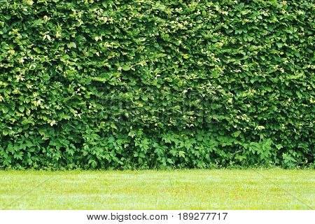 Hedge wall , of green leaves background