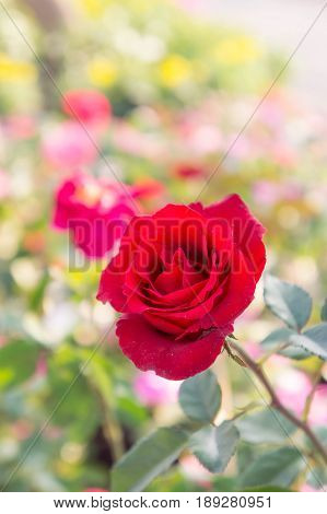 beauitful roses in garden roses for valentine day for love