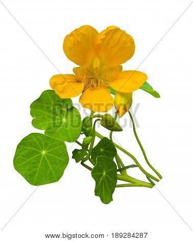 nasturtium. Bouquet of nasturtium on white background. Nasturtium flowers isolated