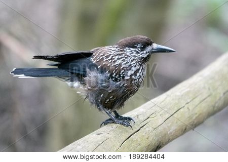 Spotted nutcracker in the woods sitting on a handle bar