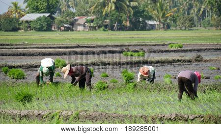 Laborers planting rice in the fields, Philippines Laborers in the ricefields work under the heat of the sun planting rice in the paddies in southern Philippines