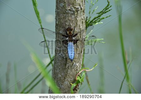 Blue Dragonfly on the tree trunk of a willow near the pond - Odonata.