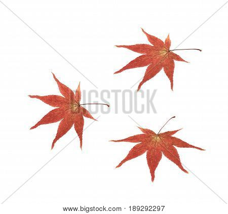 Red Japanese maple leaf isolated over the white background, set of three different foreshortenings