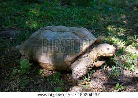 Huge land turtle or tortoise walking on the grass