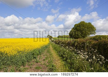 Scenic Oilseed Rape Crop