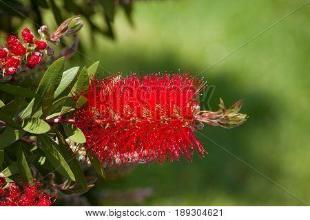Bottlebrush Flower In Blooming