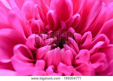 Pink flower Chrysanthemum in high detail . Beautiful background of fresh flowers. Macro image of a Chrysanthemum flower in fresh blossom.