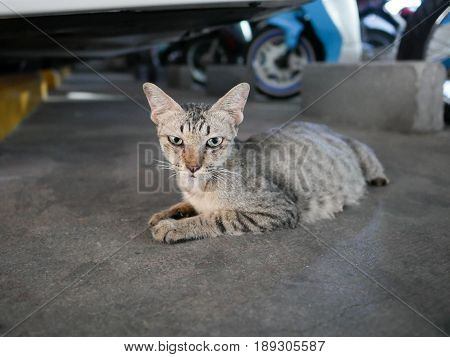 Cat Crouching Under A Car in Garage