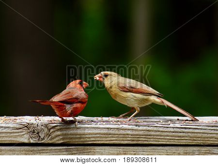 Mature male red cardinal feeding immature female on wooden deck railing with bird seed hulls
