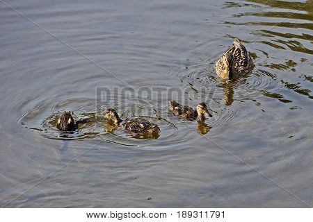 Duck with three duckling on calm water